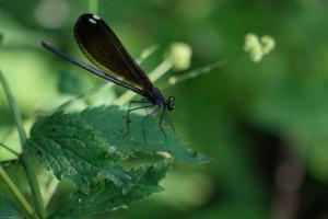 dragonfly spot